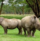 1175 rhinos killed in SA, as poacher is shot in Zim
