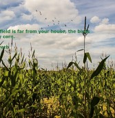 If your cornfield is far from your house, the birds will eat your corn