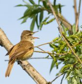 There's a reason why Africa's migratory songbirds sing out of season
