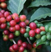 Kenya anticipates abundant coffee harvest