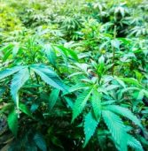 Marijuana to be legalised in SA