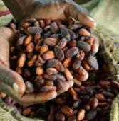 New research improves the lives of Ghanaian cocoa farmers