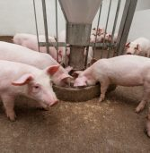 Feeding pigs in Africa is expensive. Changing their diets is the answer