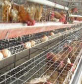South Africa's poultry industry grumbles against EU dumping