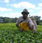 Kenyan tea farmers set to pocket low earnings due to severe drought