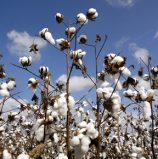 Burkina Faso cotton output to rise in 2017-18 season