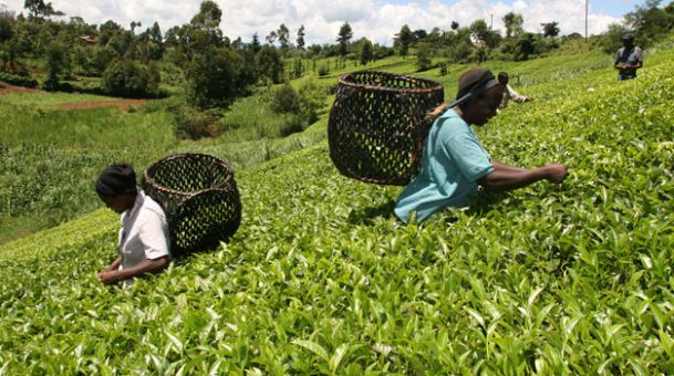 Kenya's top buyer of tea remains Pakistan