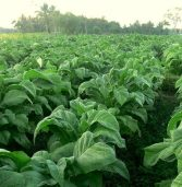 Tobacco farming methods damaging environment – WHO