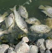 Kenya put on high alert as FAO announces outbreak of deadly tilapia virus